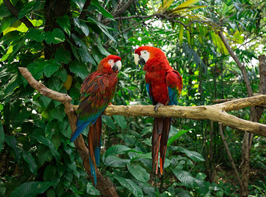 two red parrots in Jungle Island Miami Florida