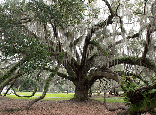 Gorgeous large tree at Loch Haven Park in Orlando, Florida