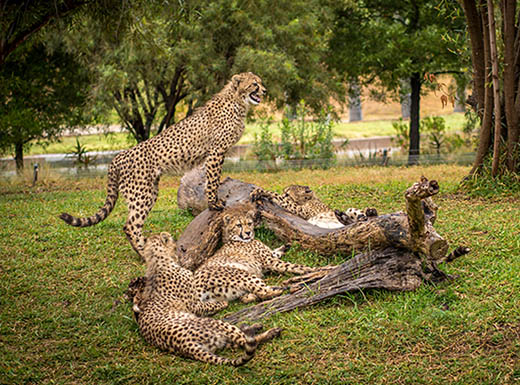 Mama cheetah and her cubs in San Diego, CA
