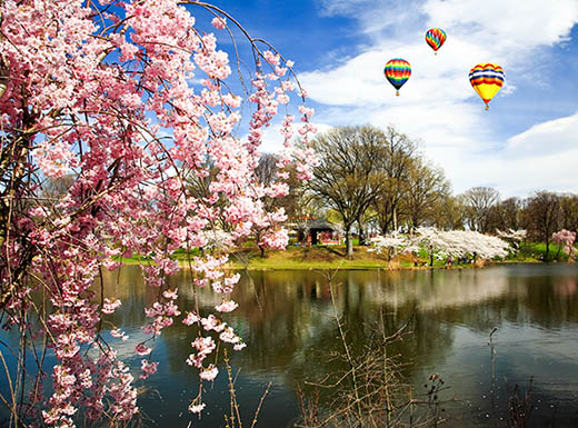 Hot air balloons fly over cherry blossom tree in front of a pond on a sunny day in Newark, New Jersey