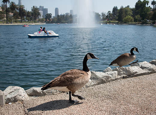 Canadian geese walking on a path next to Echo Park in L.A.""