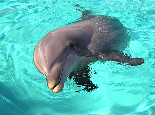 Close up picture of dolphin sticking its now out of the water in a turquoise pool during the daytime in San Diego.