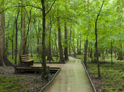 A boardwalk and a bench are visible running through a thick cypress forest and swamp of Congaree National Park in South Carolina.