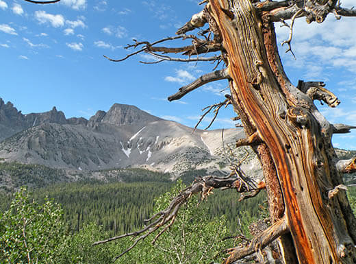 The branches of an ancient bristlecone pine are visible in the foreground with Wheeler Peak in the background in Great Basin National Park, Nevada.