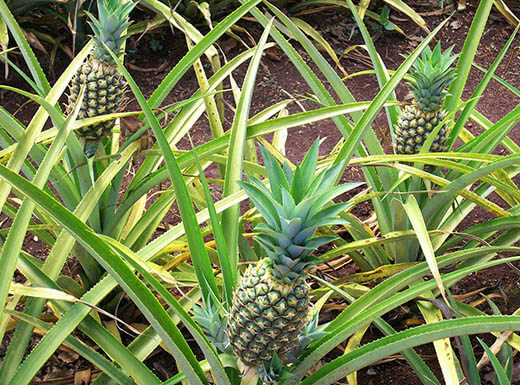 Fresh Pineapples growing on Ohau's Dole Plantation in Hawaii