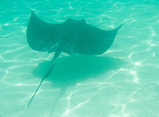 A stingray swims through the aqua blue water of the ocean above white sand off the coast of Fort Myers, Florida on a sunny day