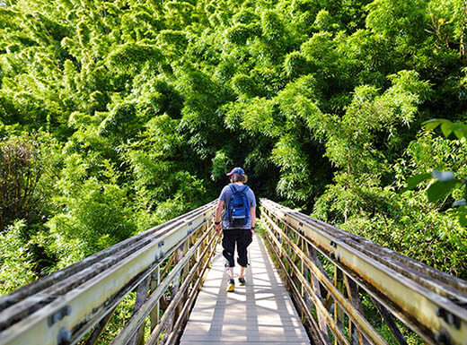 A young male tourist wearing a backpack is seen on a bridge as he follows the path through dense bamboo forest leading to Waimoku Falls in Hawaii on a sunny day