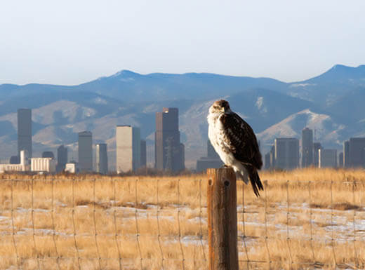 Larger than life ferruginous hawk sits on fence post in Denver, CO