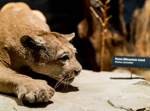 Side view of a stuffed mountain lion in a kneeling position on display at the Texas Memorial Museum in Austin, Texas