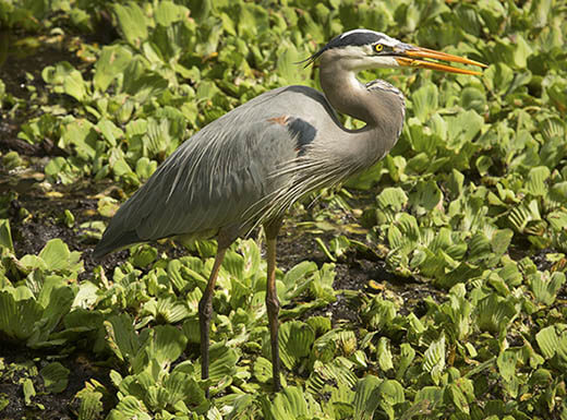 A Great Blue Heron stands in a patch of water lettuce in Corkscrew Swamp near Estero, outside of Fort Myers, Florida on a sunny day