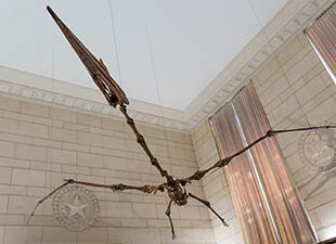 View from below of the skeleton of a pterosaurs, or flying dinosaur, hung from the ceiling of the Texas Memorial Museum in Austin, Texas