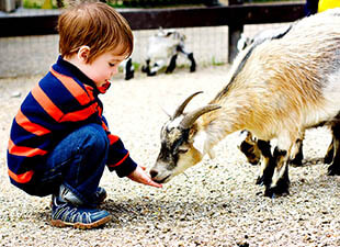 A young boy in jeans and a red and blue striped shirt kneels down to feed a small white and black goat at a zoo in St. Louis, Missouri