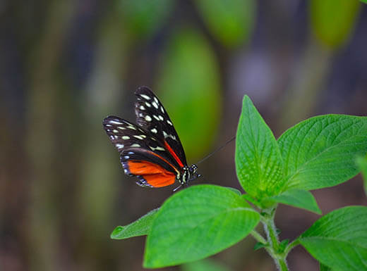 A red, black and white butterfly sits on a bright green leaf at Butterfly World in Fort Lauderdale