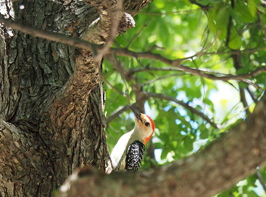 a woodpecker with a red head sitting on a leafy green tree in White Rock Lake Park in Dallas, Texas