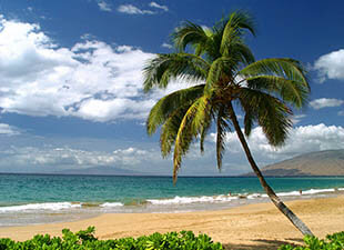 Palm tree at the beach on a sunny day in Maui, Hawaii