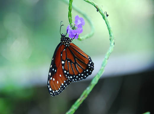 Close up view of monarch butterfly hanging upside down on a light purple flower at the Nature Park in Fort Myers, Florida