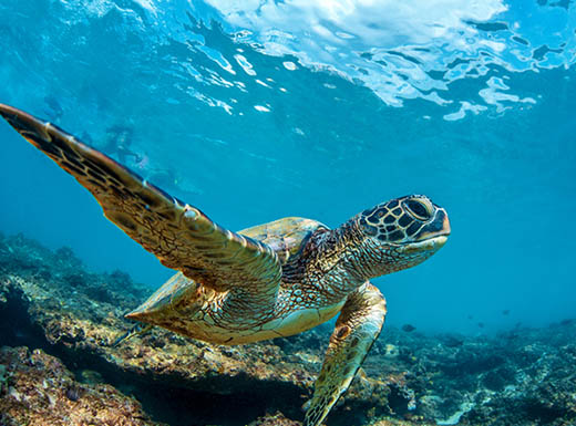 A large sea turtle is photographed swimming underwater near coral reef in Hawaii on a bright summer day.