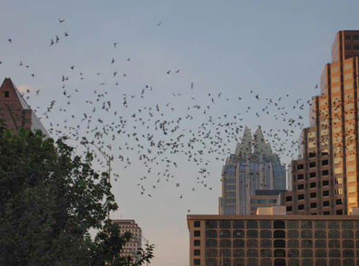 Bats fly out from under the Anne W. Richards Congress Avenue Bridge at twilight with buildings of Austin, Texas in the background