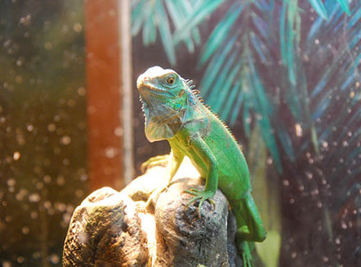 Small, bright green iguana lizard sitting on a rock at the Calusa Nature Center & Planetarium in Fort Myers, Florida