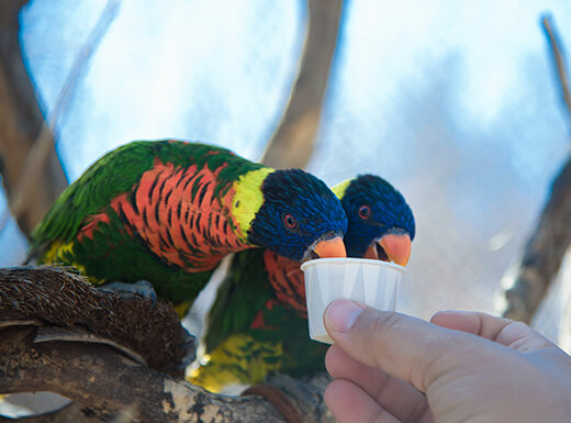 Up close view of human hand feeding two colorful birds from small paper cup.