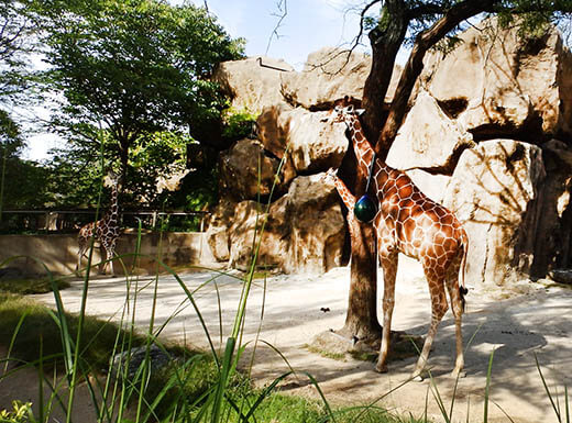 Two giraffes stand in partial shade at the Philadelphia Zoo on a bright and sunny afternoon.