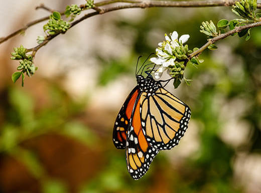 A close-up view of a monarch butterfly resting on a flowered branch on an early morning in Phoenix.