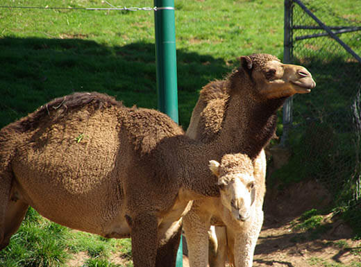 Camels bask in the sun at the Oakland Zoo in California on a bright morning.