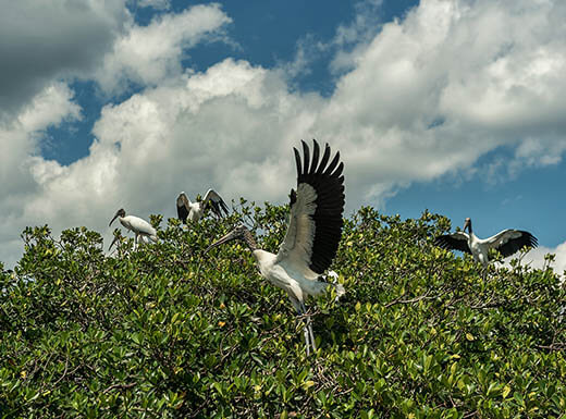 A Pelican is pictured flapping its wings in front of a leafy green tree with more Pelicans on top of it at Caloosahatchee River in Fort Myers, FL, with a bright blue sky in the background with fluffy white clouds