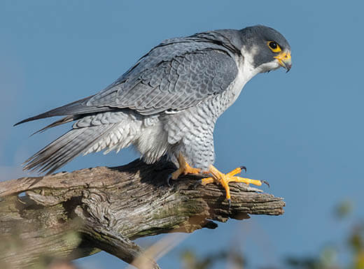 Close up of a peregrine falcon in Charlotte, North Carolina, with a blue sky in the background.