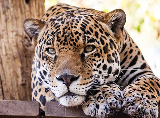A close-up view of a resting leopard's head at the Phoenix Zoo on a bright afternoon