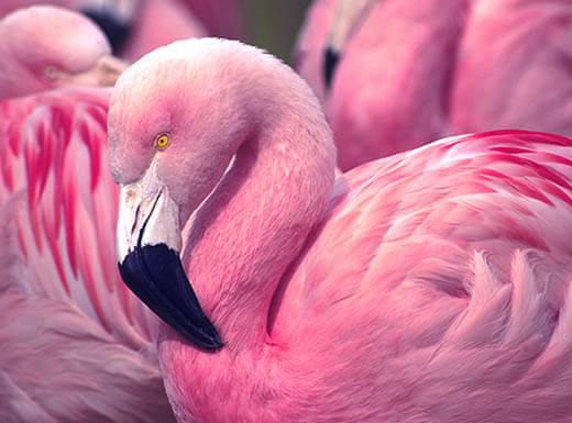 Up close image of pink flamingo in Fort Lauderdale.