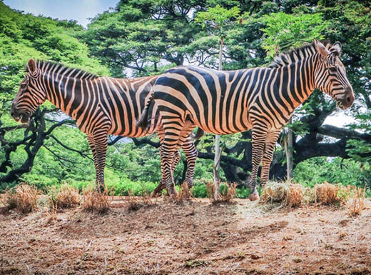 Two zebras stand next to each other as they eat grass at the Honolulu Zoo on a bright afternoon.