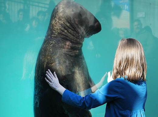 A young girl with her hands on the glass window views a sea lion at Camden Adventure Aquarium.