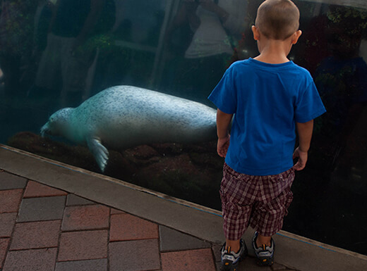 Young boy in blue shirt watches swimming seal at New England Aquarium.