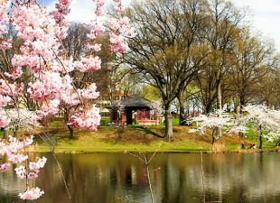 Close up view of the pink blooms of Cherry Blossom Trees with a lake and more trees in the background in Branch Brook Park, sitting beneath the afternoon sun in Newark, New Jersey.