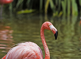 A Flamingo in a pond.