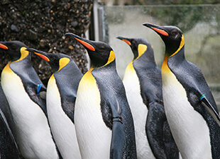 A group of Penguins in the zoo wait to be fed.