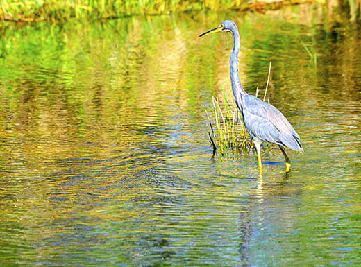 A Great Blue Heron stands tall as it walks through the shallow water in Florida Everglades on a sunny day.