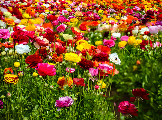 Colorful red, pink, yellow, orange, and white ranunculus flowers at the Flower Fields at Carlsbad Ranch