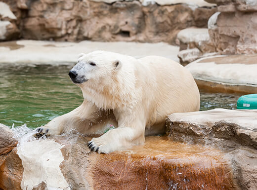 A white polar bear sitting on a rock with a pool of water behind it at the St. Louis Zoo in St. Louis, Missouri.