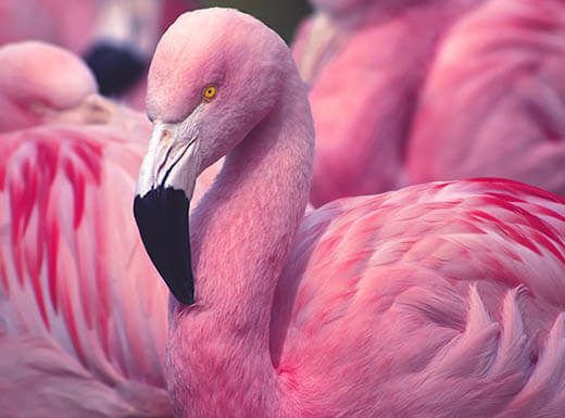 Close up view of bodies, neck and head of pink Chilean flamingos at Palm Beach Zoo