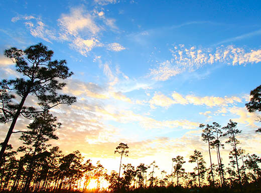 Blue sky and an early sunset in Everglades Forest shows the many tall tress in the forest, silhouetted against the blue sky with white clouds.