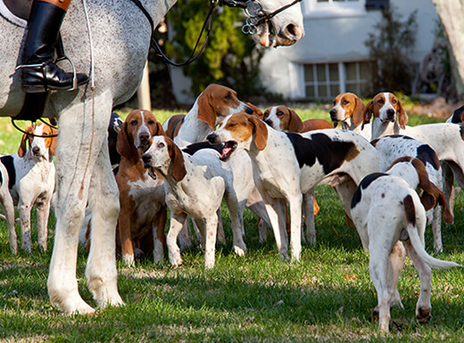 A group of American Foxhound dogs gathers on the grass before a hunt near Middleburg, Virginia on a spring day.