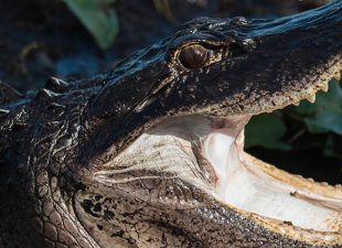 An American alligator opens its mouth wide in the swampy waters of the Everglades National Park, Florida on a sunny day.