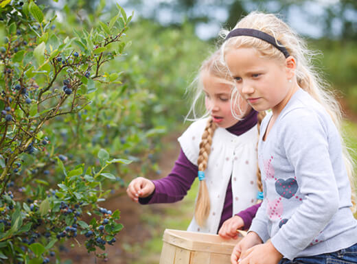 Two young girls with blonde hair picking blueberries at Southern Belle Farm in Georgia.