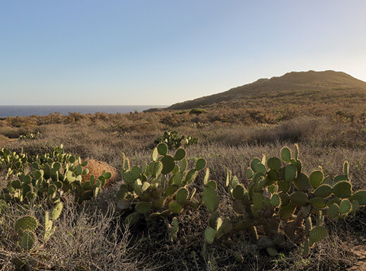 Point Dume Nature Preserve is photographed on a bright morning in Malibu, California with cactus in the foreground, surrounded by tall brush and grass, with a view of the ocean and horizon in the background.