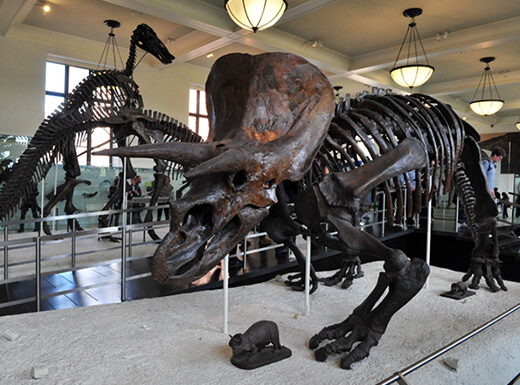 Prehistoric dinosaur exhibits are seen indoors at the American Museum of Natural History in NYC.