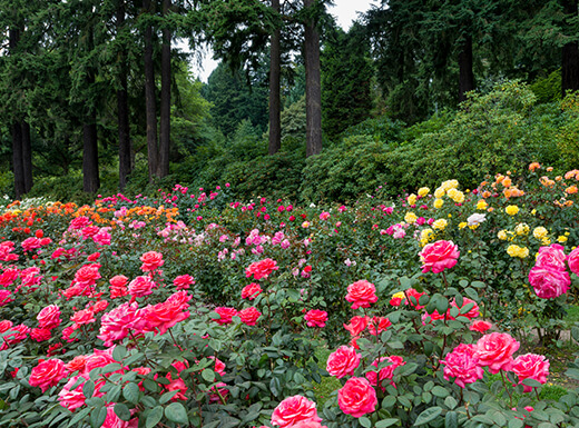 Gorgeous pink, red, yellow and orange roses at the International Rose Test Garden in Portland, Oregon with lush greenery in the background.