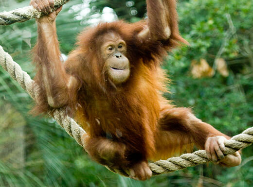 An orangutan plays on the ropes at the Houston Zoo. Photo by Becker 1999 from Grove City, OH. licensed under the Creative Commons Attribution 2.0 Generic license.