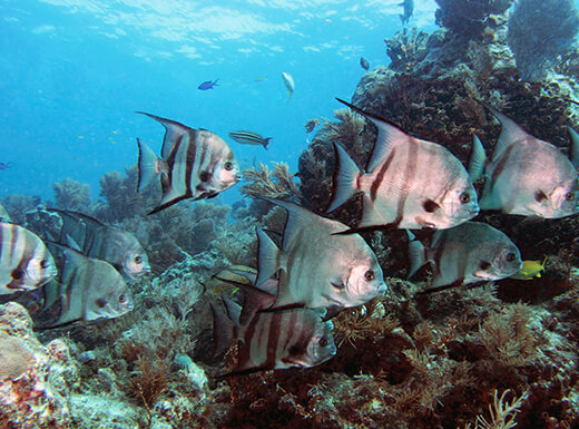 A school of Atlantic Spadefish, which are silver fish with black stripes, swim near a coral reef in Florida Keys National Marine Sanctuary as the sunlight shines through the water.
